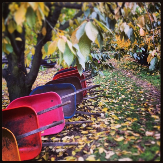 Wheelbarrows at Pumpkin Patch